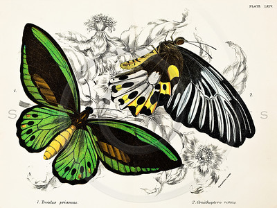 Vintage 1800s Color Illustration of butterfly-- Chomolithograph print from LLOYD'S NATURAL HISTORY by W.F. Kirby in London England in 1896.