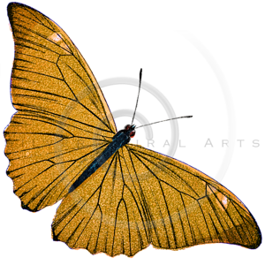 Vintage Yellow Butterfly Illustration - 1800s Butterflies.