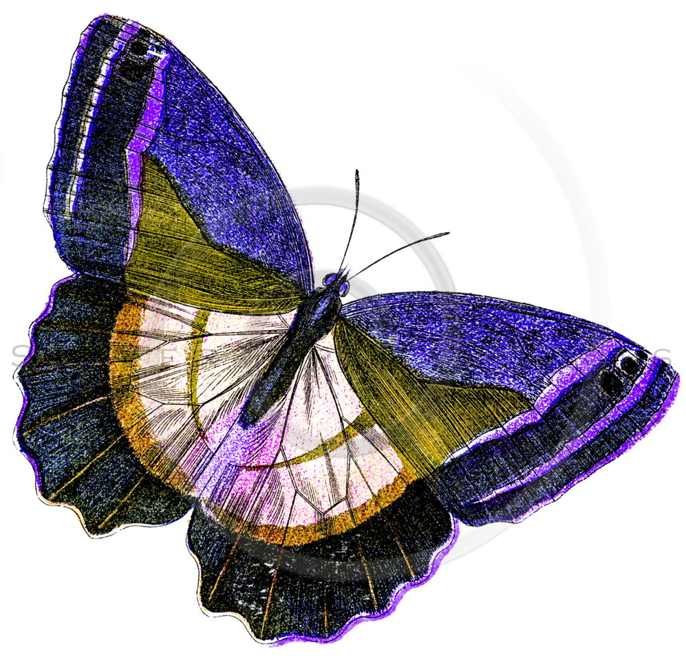 Vintage Purple Yellow Butterfly Illustration - 1800s Butterflies.