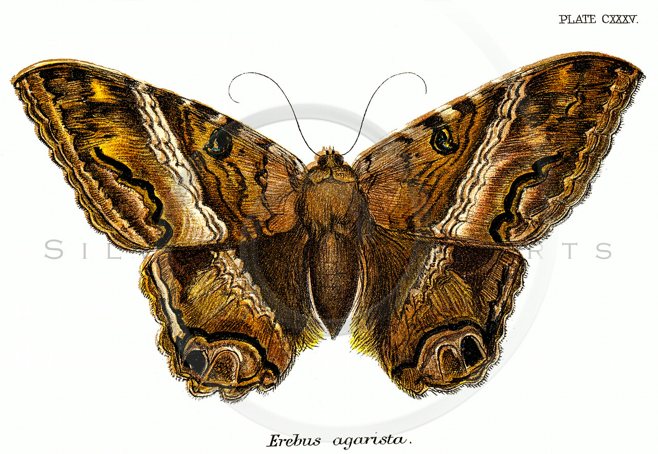 Vintage Brown Moth Illustration - 1800s Moths.