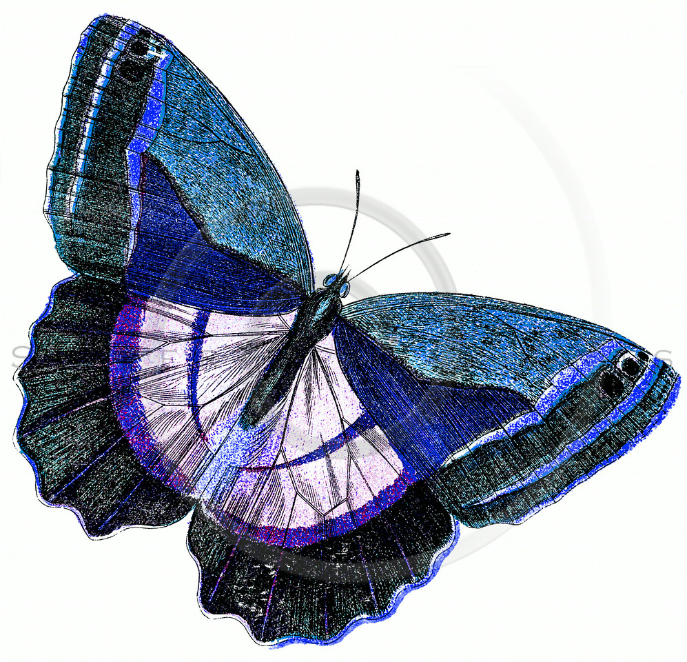 Vintage Purple Blue Butterfly Illustration - 1800s Butterflies.