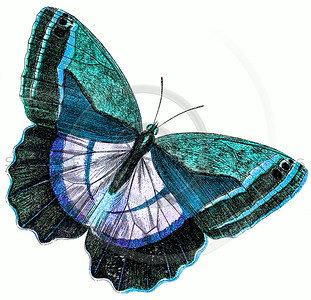 Vintage Teal Blue Butterfly Illustration - 1800s Butterflies.