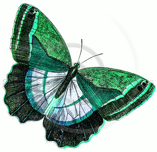 Vintage Green Butterfly Illustration - 1800s Butterflies.