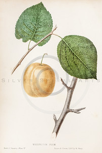 Vintage Illustration of Plum from The Fruits of America by Charles Hovey. Antique digital download of old print - plum, plums, color, fruit, fruits, produce, food, plant, nature, leaf, leaves.  The natural age-toning, paper stains, and antique printing imperfections are preserved in this 1800s stock image.