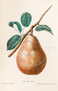 Vintage Illustration of Pear from The Fruits of America by Charles Hovey. Antique digital download of old print - pear, pears, fruit, fruits, produce, food, plant, nature, leaf, leaves, color.  The natural age-toning, paper stains, and antique printing imperfections are preserved in this 1800s stock image.