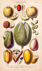 Vintage illustration of Fruits and Nuts from The History of the Vegetable Kingdom by Walter Hood Fitch, 1855.  Antique digital download of old print - fruit, guava, pistachio, apple, pear, mango, avocado, produce, nature, food, color.  The natural age-toning, paper stains, and antique printing imperfections are preserved in this 1800s stock image.