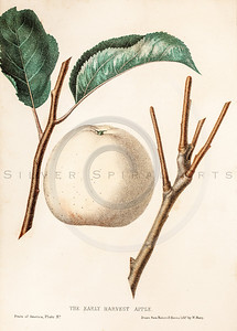 Vintage Illustration of Apple from The Fruits of America by Charles Hovey. Antique digital download of old print - apple, apples, color, fruit, fruits, produce, food, plant, nature, leaf, leaves.  The natural age-toning, paper stains, and antique printing imperfections are preserved in this 1800s stock image.