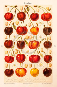 Vintage illustration of Cherries from Meyers Konversations Lexikon 1913 Encyclopedia. Antique digital download of old print - cherry; cherries; food; fruit; produce; nature; botany.  The natural age-toning, paper stains, and antique printing imperfections are preserved in this 1900s stock image.