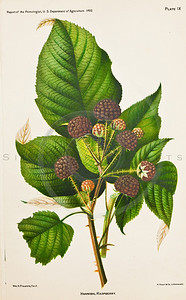 1800s Vintage Color Illustration of chromolithograph print of fruit by U.S.D.A.