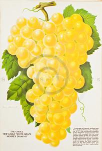1800s Vintage Color Illustration of chromolithograph print of fruit by U.S.D.A.