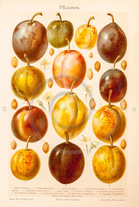 Vintage illustration of Plums from Meyers Konversations Lexikon 1913 Encyclopedia.  Antique digital download of old print - plum; plums; food; fruit; produce; nature; botany.  The natural age-toning, paper stains, and antique printing imperfections are preserved in this 1900s stock image.