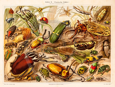 Vintage illustration of Beetles from Meyers Konversations Lexikon 1913 Encyclopedia.  Antique digital download of old print - bug; insect; nature; plants; beetle.  The natural age-toning, paper stains, and antique printing imperfections are preserved in this 1900s stock image.