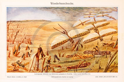 Vintage illustration of Dragonflies and Grasshoppers from Meyers Konversations Lexikon 1913 Encyclopedia. Antique digital download of old print - bug; swarm; plague; insect; nature; plants; dragonfly; grasshopper.  The natural age-toning, paper stains, and antique printing imperfections are preserved in this 1900s stock image.