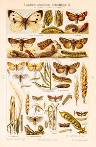 Vintage illustration of Moths, Butterflies, and Catepillars from Meyers Konversations Lexikon 1913 Encyclopedia.  Antique digital download of old print - bug; insect; nature; plants; catepillar; moth; butterfly; wings.  The natural age-toning, paper stains, and antique printing imperfections are preserved in this 1900s stock image.
