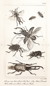 Vintage Illustration of Earwig, Glow Worm, and Beetles from the American Edition of the British Encyclopedia, 1817. Antique digital download of old print - animal, insect, bug, earwig, glow worm, worm, beetle, nature, encyclopedia, encyclopedic.  The natural age-toning, paper stains, and antique printing imperfections are preserved in this 1800s stock image.