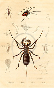 Vintage illustration of Spiders from Guerin Natural History Prints, 1836.  Antique digital download of old print - spider, spiders, insect, bugs, scorpion, animal.  The natural age-toning, paper stains, and antique printing imperfections are preserved in this 1800s stock image.