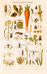 Vintage illustration of Insects and Plants from Meyers Konversations Lexikon 1913 Encyclopedia.  Antique digital download of old print - bug; insect; nature; plants; ant; fly; insects; bugs; carrot; worm.  The natural age-toning, paper stains, and antique printing imperfections are preserved in this 1900s stock image.