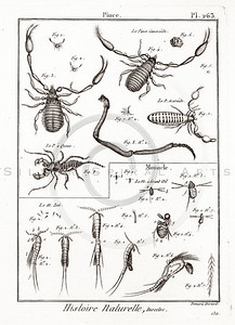 Vintage 1700s Sepia Insect Illustration from HISTOIRE NATURELLE by De Seve.  The natural patina, age-toning, imperfections, and old paper antiquing of this vintage 18th century illustration are preserved in this image.
