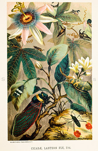 Vintage 1800s color insect illustration- Chromolithograph from ANIMATE CREATION by Louis Prang in New York in 1898