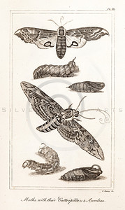 Vintage Illustration of Caterpillars and Moths from the American Edition of the British Encyclopedia, 1817.  Antique digital download of old print - caterpillar, moth, moths, insects, bugs, animals, nature, encyclopedia, encyclopedic.  The natural age-toning, paper stains, and antique printing imperfections are preserved in this 1800s stock image.