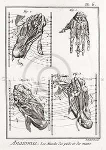 Vintage 1700s Sepia Anatomy Illustration of Skeletal Hands and Feet from ENCYCLOPEDIE RAISONNE DES SCIENCES by Diderot.  The natural patina, age-toning, imperfections, and old paper antiquing of this vintage 18th century illustration are preserved in this image.