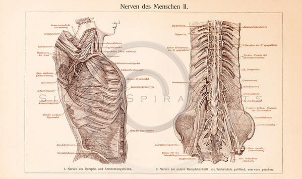 Vintage illustration of human ribcage anatomy from Meyers Konversations Lexikon 1913 Encyclopedia.  Antique digital download of old print - anatomy; human; medical; body; muscle; diagram; bones; ribcage; diaphragm.  The natural age-toning, paper stains, and antique printing imperfections are preserved in this 1900s stock image.