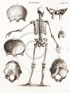 Vintage 1700s Sepia Anatomy Illustration of Human Skeleton from ENCYCLOPEDIE RAISONNE DES SCIENCES by Diderot.  The natural patina, age-toning, imperfections, and old paper antiquing of this vintage 18th century illustration are preserved in this image.