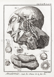 Vintage 1700s Sepia Anatomy Illustration of Human Skulls from ENCYCLOPEDIE RAISONNE DES SCIENCES by Diderot.  The natural patina, age-toning, imperfections, and old paper antiquing of this vintage 18th century illustration are preserved in this image.