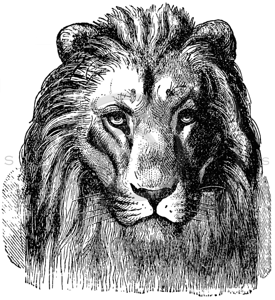 Vintage Lion Head Illustration - 1800s Lions Images