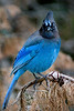 Puffed Up Stellar's Jay seen in Big Sur - Photo by Pat Bonish