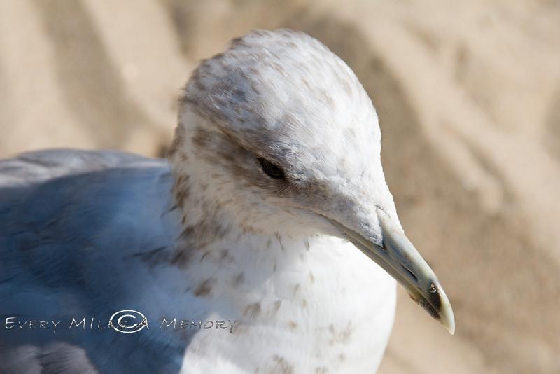 Hello Mr Pelican - Malibu Beach - Photo by Cindy Bonish