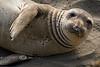 Curious Elephant Seal on San Simeon Beach - Photo by Cindy Bonish