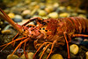 Upclose and Personal with Mr Lobster - Photo by Pat Bonish