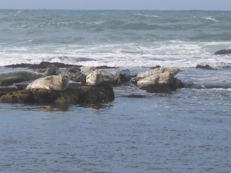 Seals, somewhere near San Simeon
