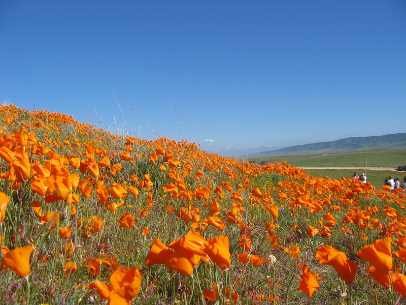 Visiting the California Poppy Fields in our VW Camper