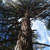 Mount San Jacinto pine.