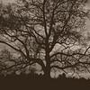 Majestic Oak by the Ohio River