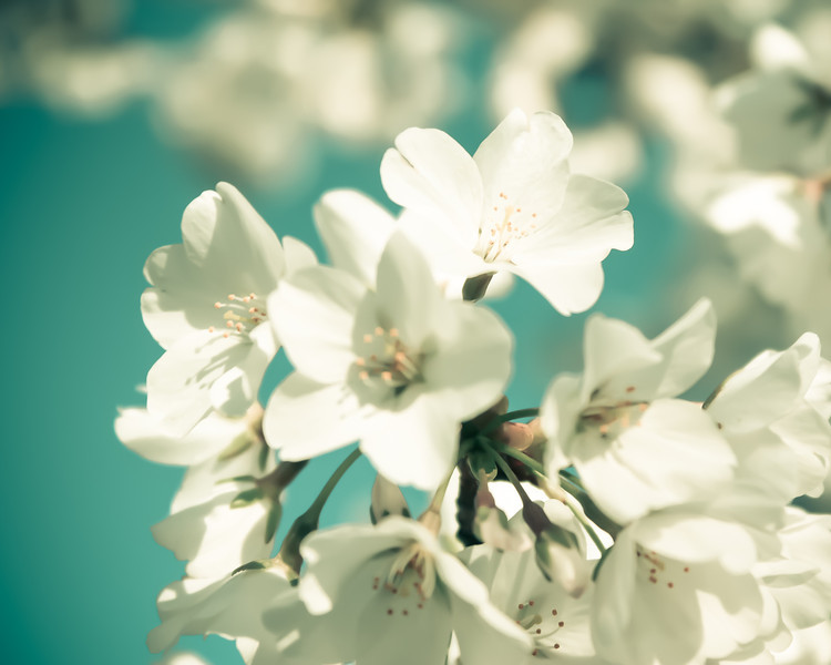 National Cherry Blossom Festival: Full Bloom
