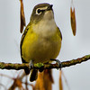 Blue-headed Vireo<br /> Peebles Island, 10-10-13