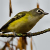 Blue-headed Vireo]<br /> Peebles Island, 10-10-13