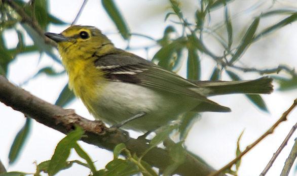 Yellow-throated Vireo, VF 7-10-08
