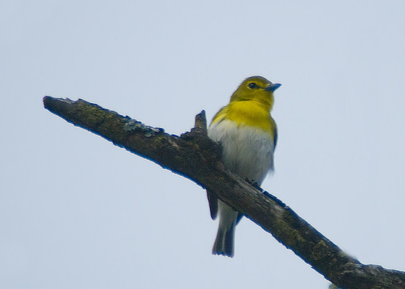 Yellow-throated Vireo, VF 5-4-09