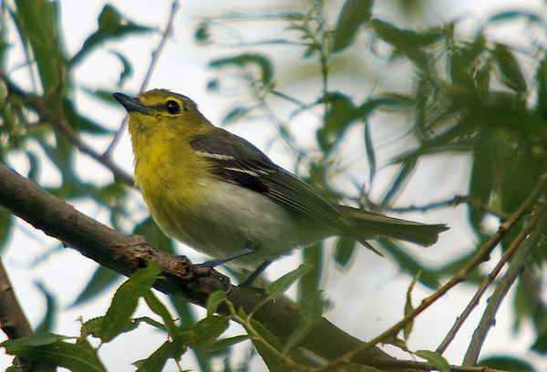 Yellow-throated Vireo, VF 7-10-08