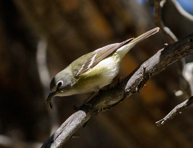 Casin`s Vireo  Mammoth Lakes  2012 05 23 (9 of 9).CR2