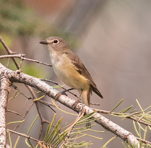 Cassin` Vireo Mammoth Lakes 2018 06 24-4.CR2