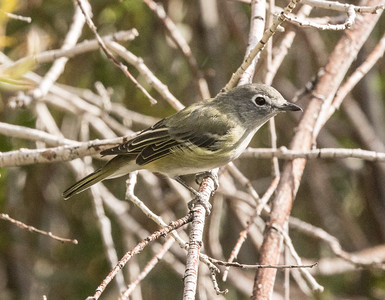 Cassin`s Vireo Mammoth Lakes 2016 08 30-1.CR2