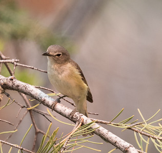 Cassin` Vireo Mammoth Lakes 2018 06 24-3.CR2