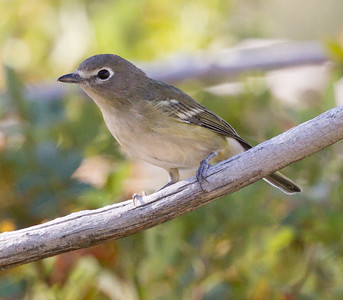 Cassin`s Vireo Mammoth Lakes 2016 08 17-1.CR2