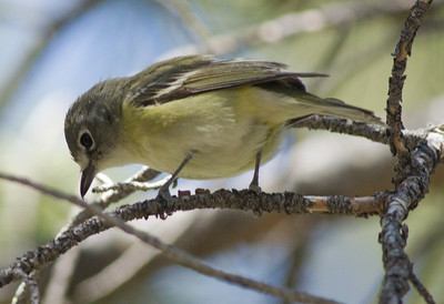 Casin`s Vireo  Mammoth Lakes  2012 05 23 (4 of 9).CR2