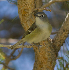 Casin`s Vireo  Mammoth Lakes  2012 05 23 (2 of 9).CR2